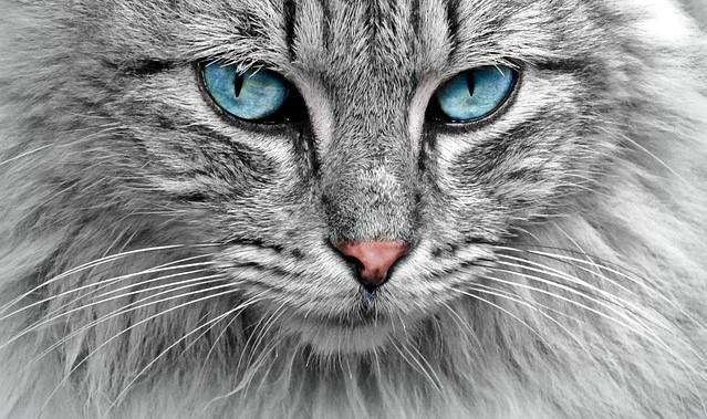 Competitii si expozitii cu feline la Salonul International Felin Bucuresti
